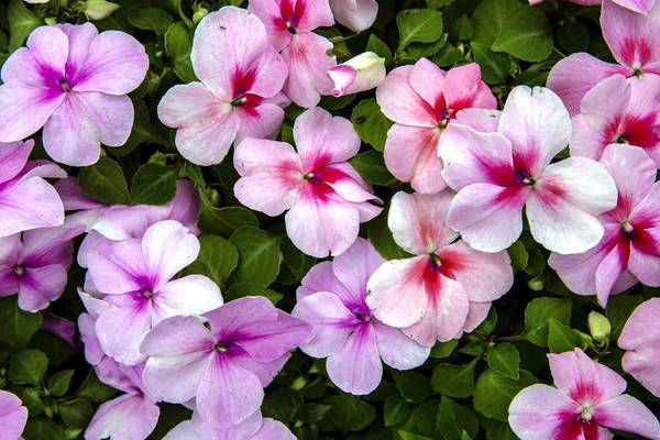 ct-ct-met-impatiens-disease-jpg-20130421